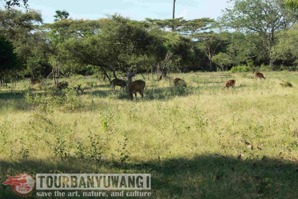 Padang savana baluran banyuwangi, taman nasional baluran
