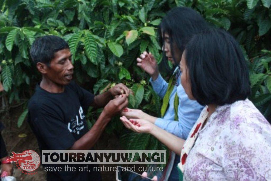 Paket Wisata Banyuwangi 1 Hari 1 Malam Valuable Tour Travel, Tujuan wisata Banyuwangi, Wisata Kebun Kopi
