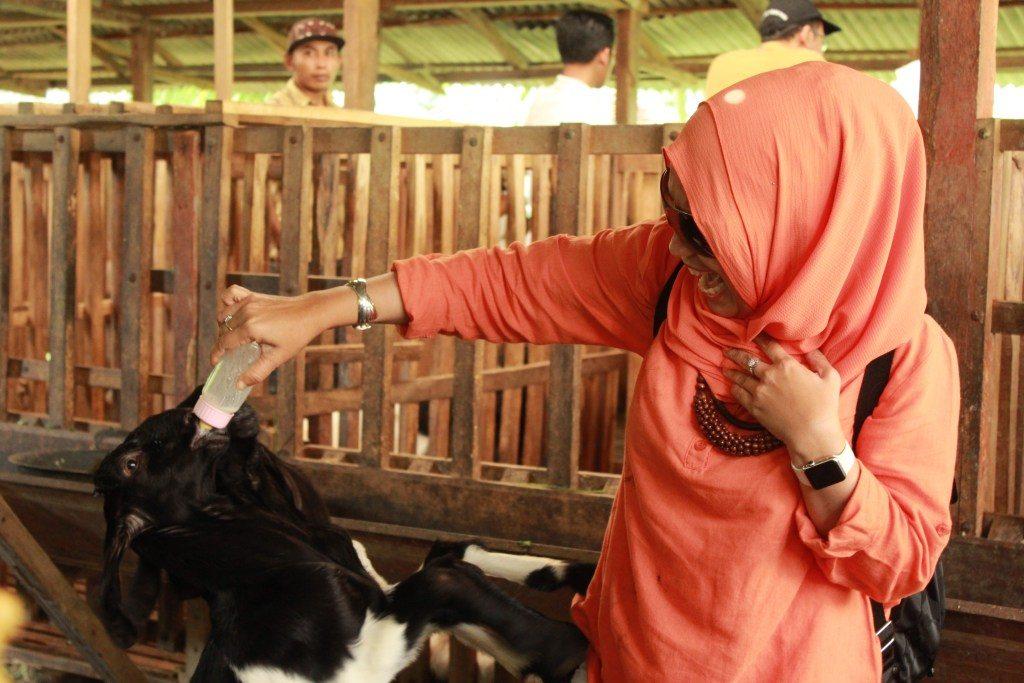 wisata edukasi kambing etawa, wisata kambing, peternakan kambing etawa