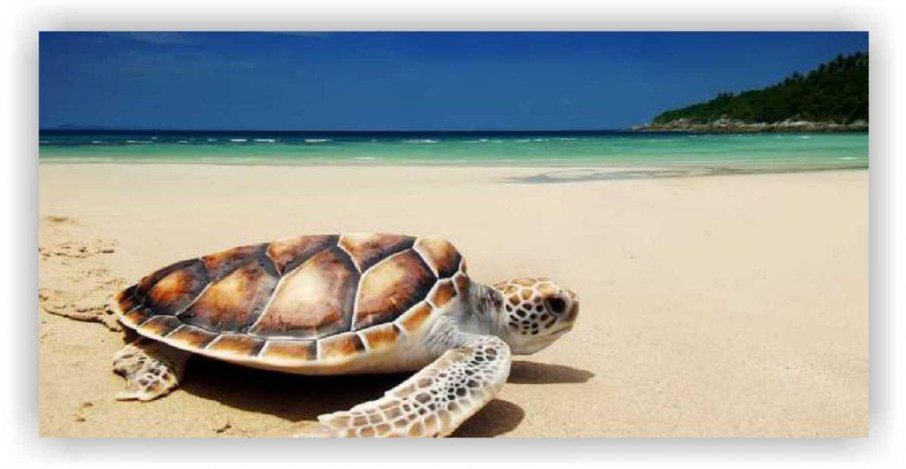 Pantai sukomade, melihat penyu di pantai sukonade