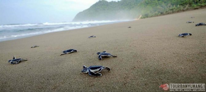 Pantai Sukamade Banyuwangi Yang Mempesona
